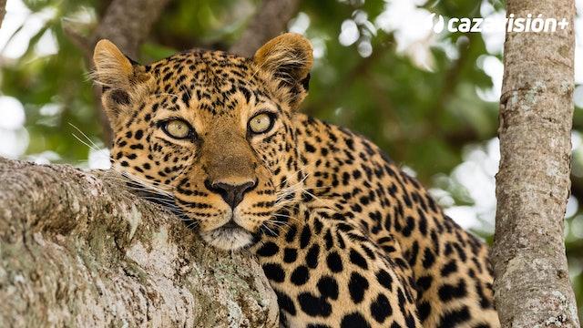 Fuertes dosis de adrenalina con leopardos, elefantes, cocodrilos y leones