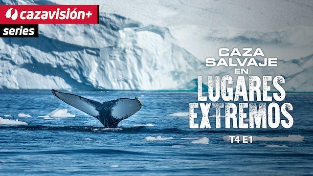 Caza local de ballenas en Alaska; tradición, cultura y respeto