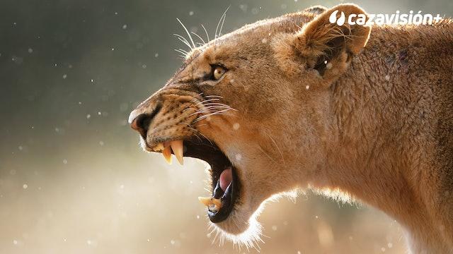 Tras una leona peligrosa con arco