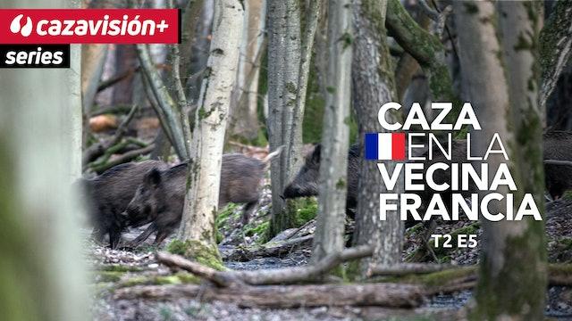 Cazadores franceses en acción, batidas de jabalíes en Bielorrusia