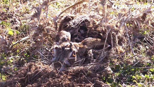 La excelencia de la caza del galgo a la liebre