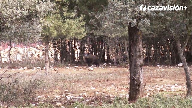 Monteando jabalíes en La Planta