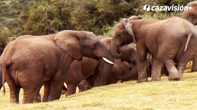 Safari de elefante entre leones