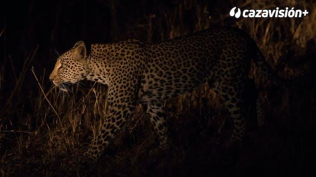 Búfalos de día, leopardo de noche
