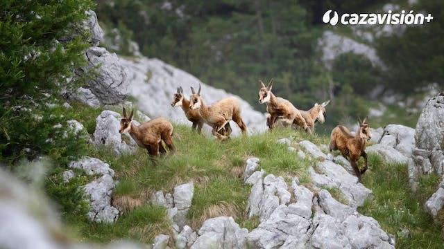 Sarrios, gestión y caza en Freser Set...