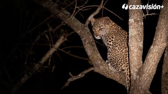La noche del leopardo entre elefantes y leones
