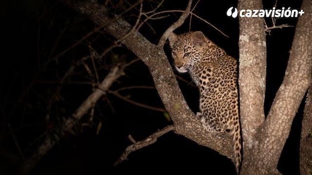 La noche del leopardo entre elefantes...