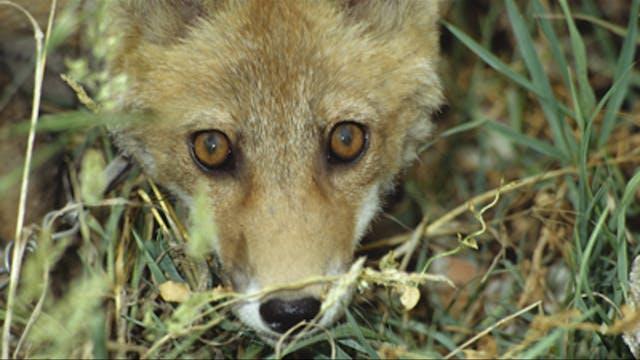 Caza de zorros en Torrequemada