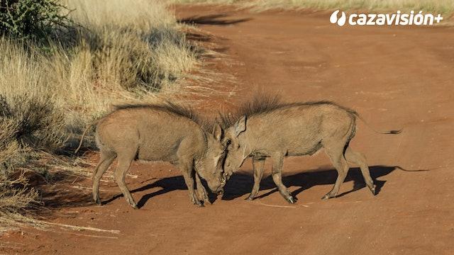 Safari de Facocheros por manadas