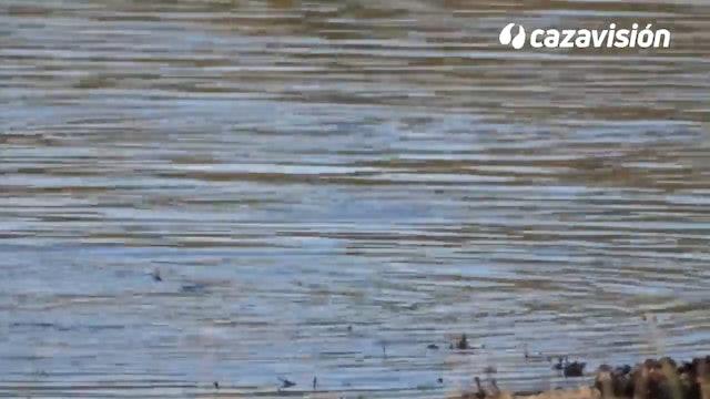 Patos en media veda y Caza a larga distancia