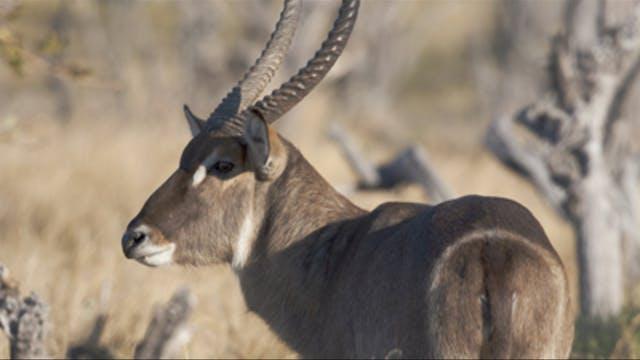 Tras bushbuck, waterbuck y babuino en...