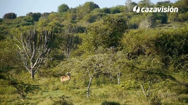 Tras antílopes y búfalo en Uganda