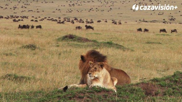 Tras una leona peligrosa con arco. Pa...