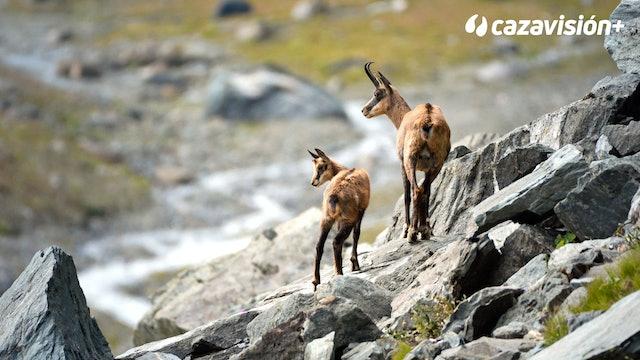 Un macho en Sierra Nevada y un rebeco en Pirineos