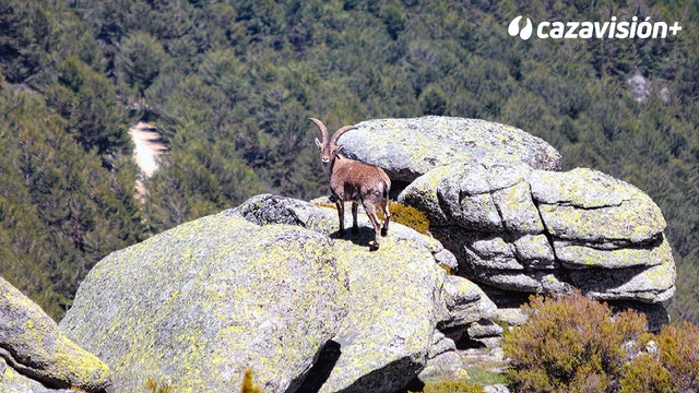 Dos cazadores portugueses recechando en las Batuecas