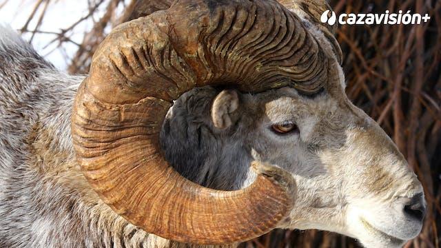 Rececho de argali de Altai en Mongolia