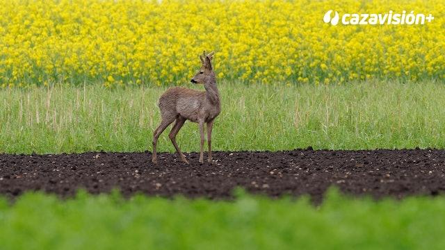 Caza del corzo en bosques y siembras