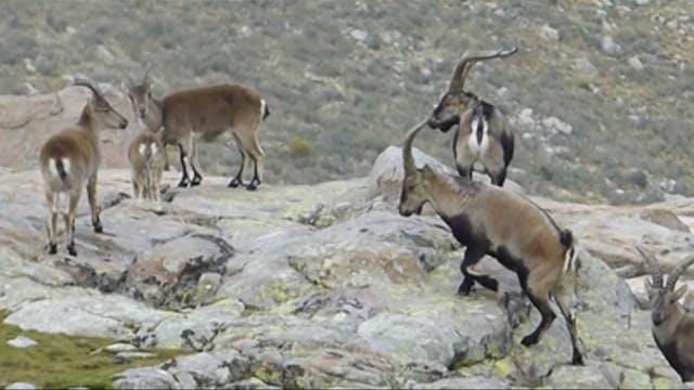 Safari Season: Rececho en Gredos