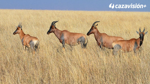Safari de facocheros, tsessebe, roan y enormes kudus