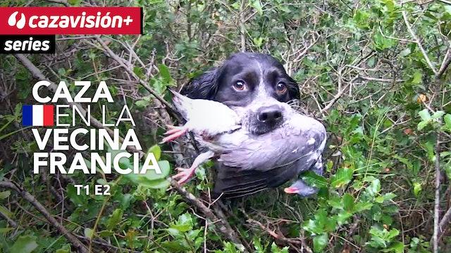 Paloma torcaz, una pasión de caza sin fronteras