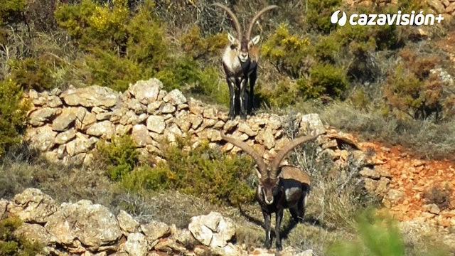 Cabra hispánica y muflón en Valencia