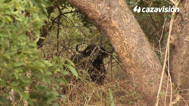 El encanto de la caza del búfalo cafre