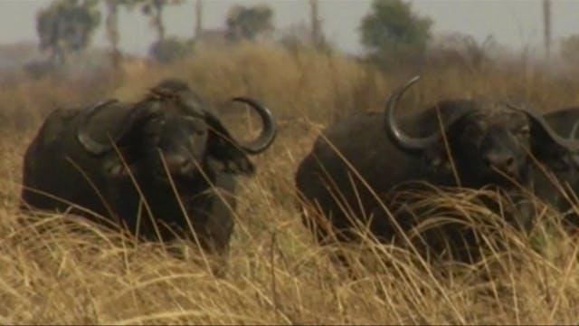 Tras los búfalos cafres en Tanzania