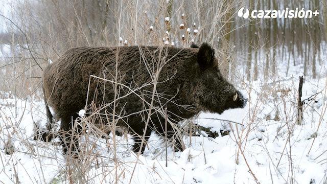 Batidas invernales a los cochinos en Bulgaria