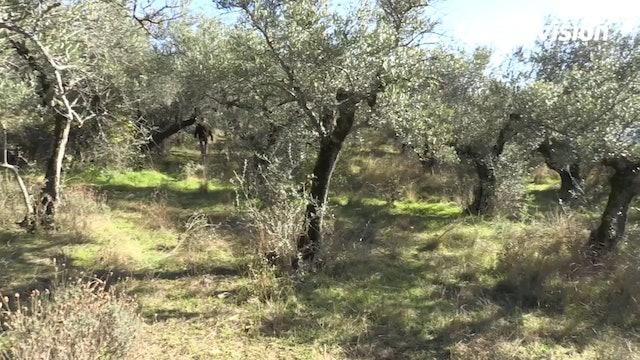 Zorzales al paso en Extremadura