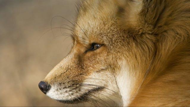 El arte de chillar al zorro