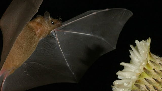 Conservation effort uses bats