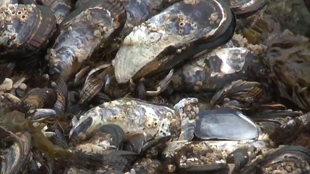 Mussels damaged during July heatwave