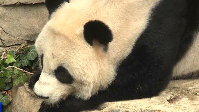 Bei Bei, giant panda born in US heads...