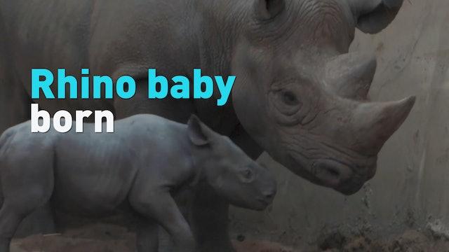 New baby eastern black rhino born