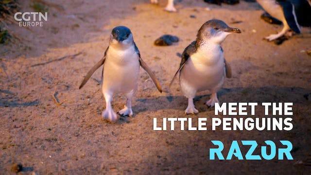 Meet the Little penguin 🐧 - #RAZOR