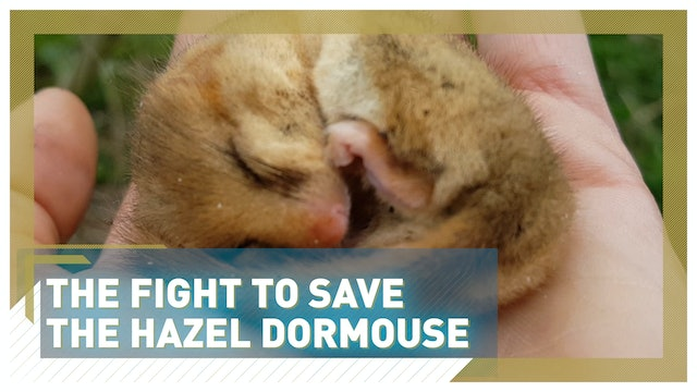 The fight to save UK's hazel dormouse population