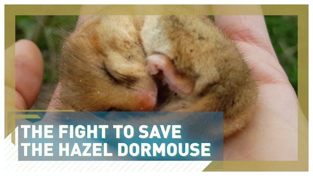 The fight to save UK's hazel dormouse...