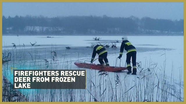 Herd of deer rescued from frozen lake 🦌