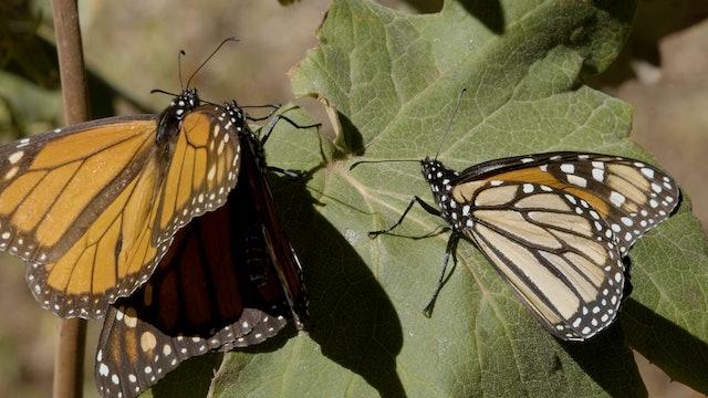 Monarch Butterflies Migration Undisturbed by Humans in COVID-19 Lockdown