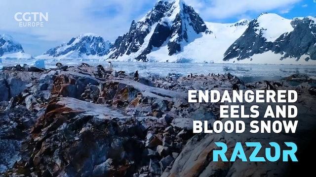 Endangered eels and blood snow: #RAZOR full episode