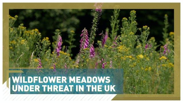 Wildflower meadows under threat in th...