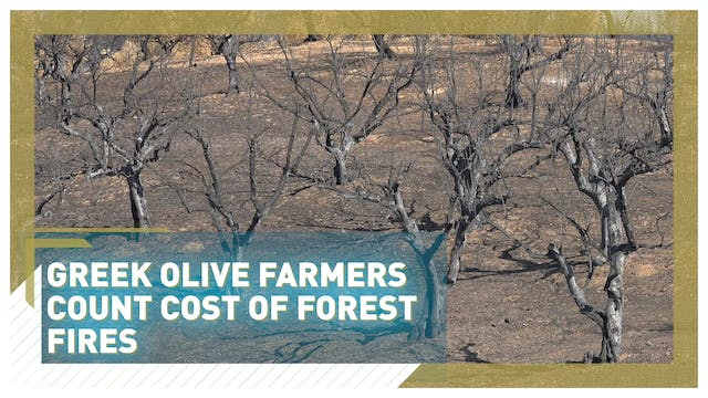 Greek olive farmers count cost of for...