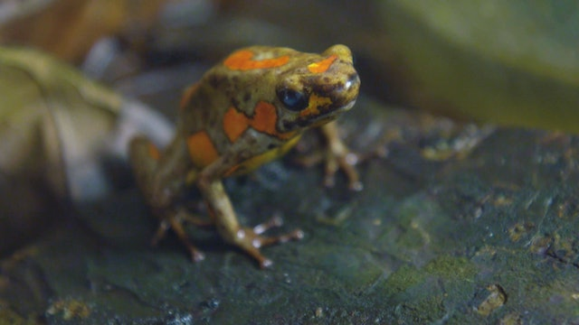 Breeding exotic frogs in Colombia