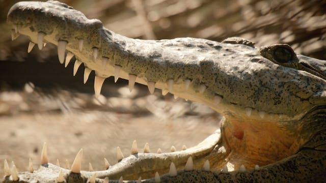 Crocodile whisperer rescuing crocs in...