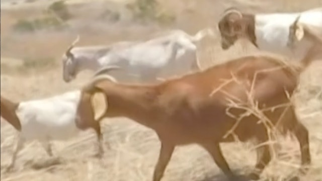 Can goats help prevent wildfires?