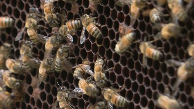 Beekeeping rises as bee numbers drop