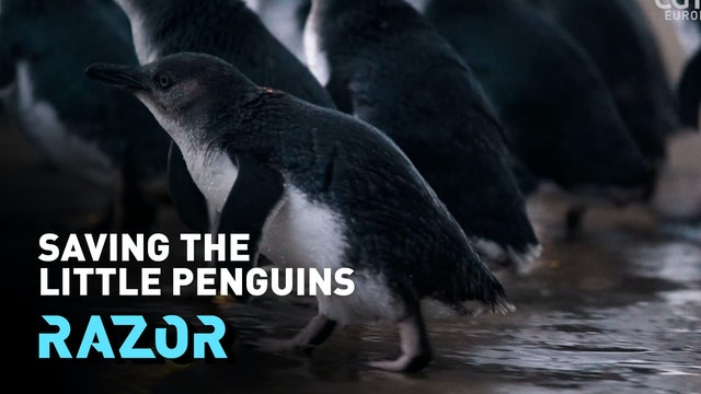 Saving the little penguin to protect the whole ecosystem - #RAZOR