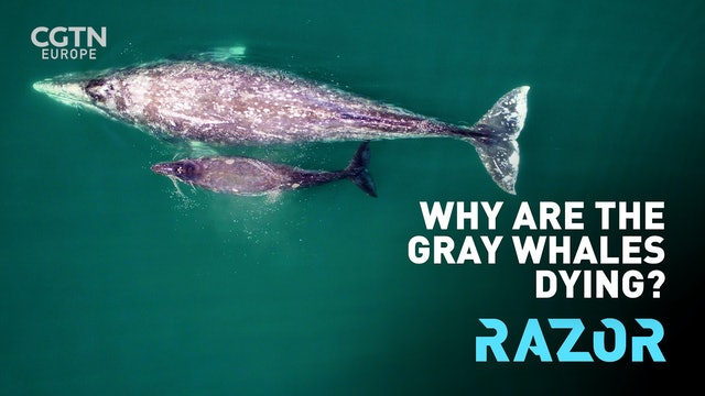 Why are the gray whales dying? #RAZOR