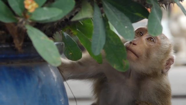 Vietnam's temple monkeys