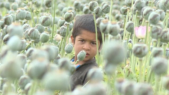 Under Taliban, the growing Opium trade